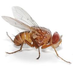 insecticida delegate contra a drosophila